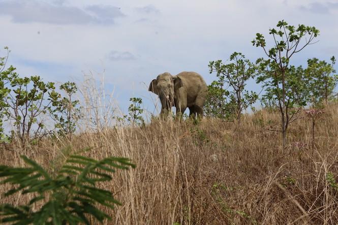 Bắn thuốc mê cứu hộ voi Cu Sứt lần 2