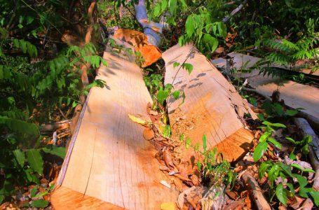 Những khúc gỗ to chưa bị đưa khỏi Khu BTTN Ea Sô