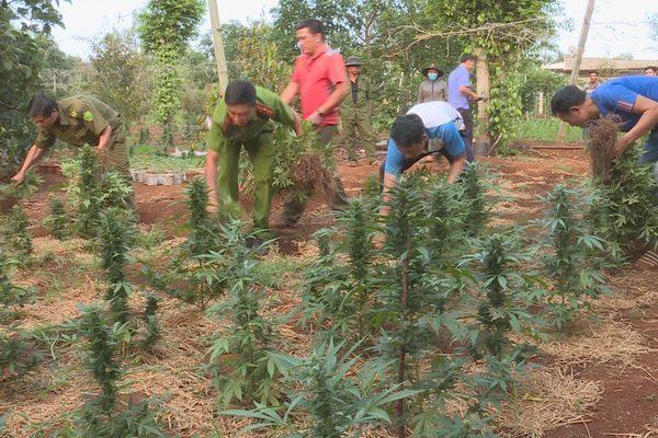 Đắk Lắk: Dối trá khó tin, chăm kỹ lưỡng nghìn cây cần sa cho gà ăn