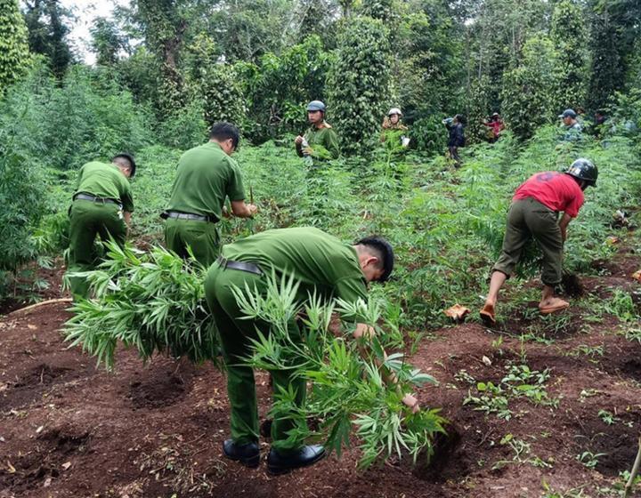 Phát hiện trồng cây Cần Sa trái phép tại Krong Buk