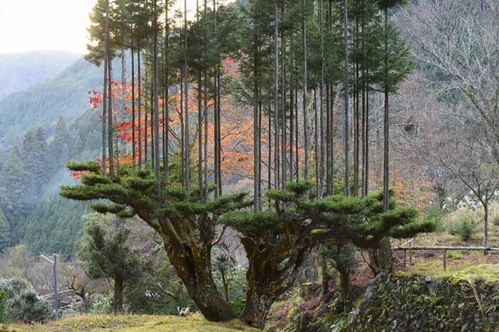 Kinh ngạc kỹ thuật cổ xưa lấy gỗ có một không hai của người Nhật