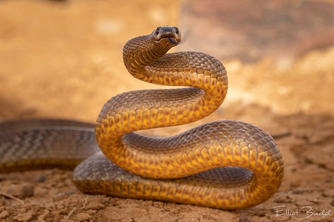 Lấy 3 miếng thịt cho rắn Taipan, rắn chúa bụi và rắn Fer De Lance cắn: Kết quả bất ngờ!