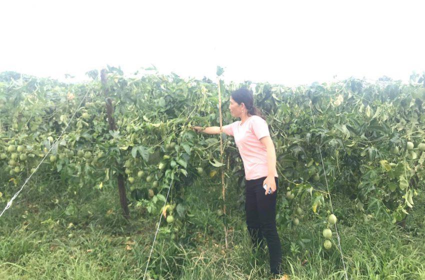 Nông dân thiệt hại hàng trăm triệu đồng vì bị kẻ gian phá hoại vườn chanh dây ở Kon Tum