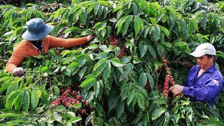 Giá cà phê hôm nay 24/10: Tiếp tục tăng, giá cà phê thế giới đảo chiều