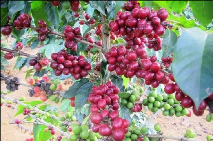 Giá cà phê hôm nay 19/11: Việt Nam vào vụ trong khi giá Robusta lao dốc mạnh, Arabica tiếp đà tăng