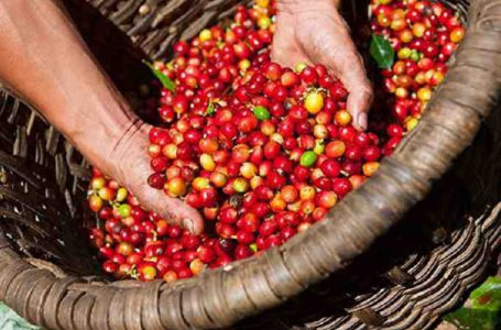 giá cà phê hôm nay ngày 13/11