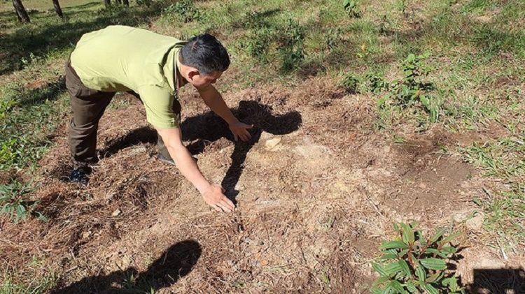 Một gốc thông bị cưa sát mặt đất