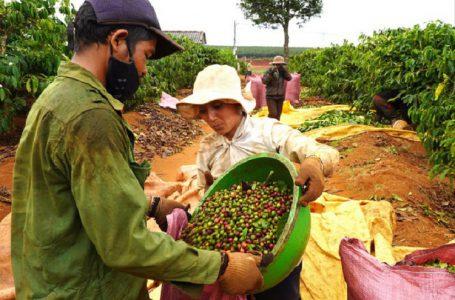 Nông dân Gia Lai thu hoạch cà phê