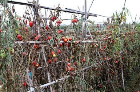 Giải cứu nông sản: Cần giải pháp thiết thực