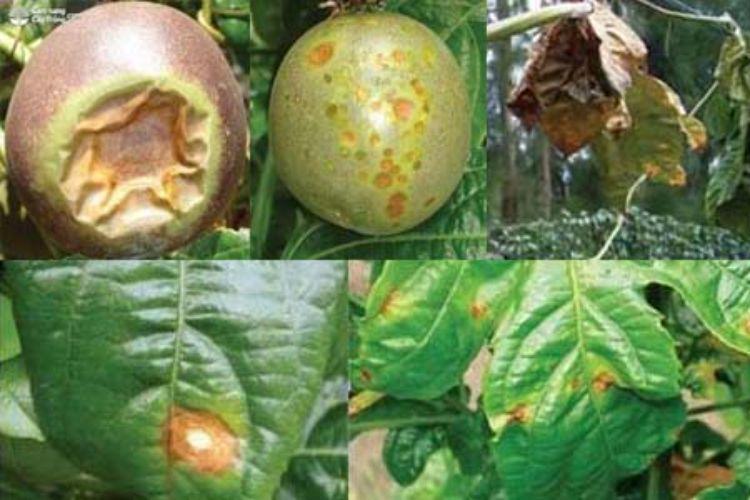 Bệnh đốm dầu do vi khuẩn Pseudomonas passiflorae
