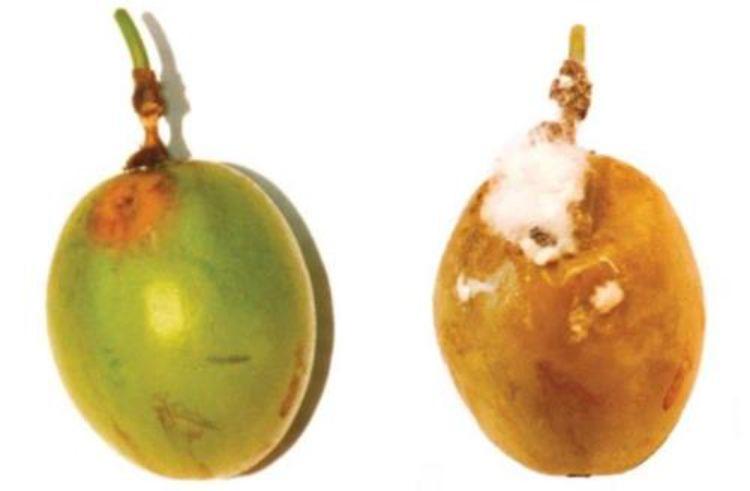 Bệnh thối hạch do nấm Sclerotinia sclerotiorum