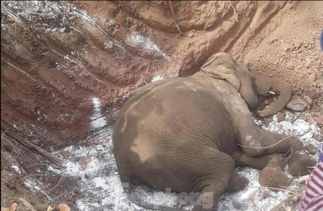 Đăk Lăk: Thêm một cá thể voi tại Buôn Đôn qua đời