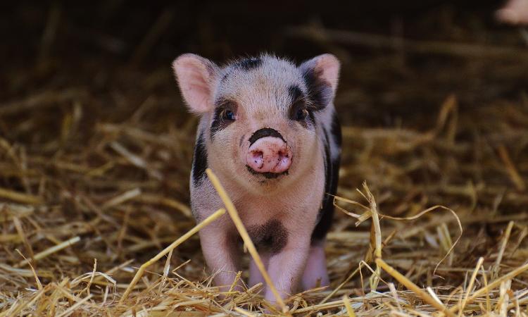Khuyến cáo xuất khẩu lợn sang Campuchia theo đường chính ngạch
