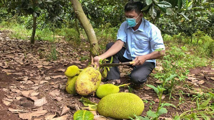 Đắk Lắk: Mít Thái rớt giá thê thảm, nông dân lỗ nặng