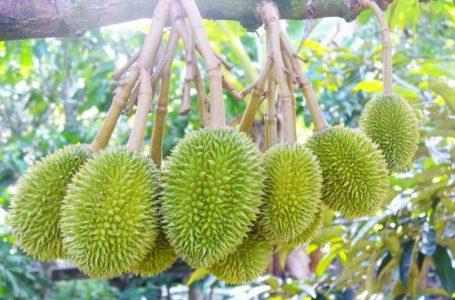 chăm sóc cây sầu riêng bằng phân hữu cơ