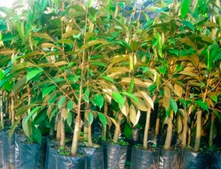 cây sầu riêng con
